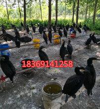 婆罗门鸡适合养几个月下蛋哪里有小婆罗门鸡苗出售婆罗门鸡视频图片