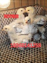 一对梵天鸡苗价格青年梵天鸡图片那里有梵天鸡孵化场