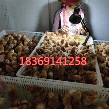 崇左哪里有卖红玉鸡苗的出壳红玉鸡苗价格图片红玉鸡苗多少钱一只