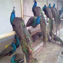 白孔雀圖片脫溫白孔雀苗多少錢那里有孔雀養殖場圖片