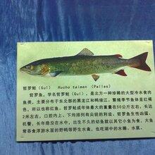 哲羅鮭專賣店,哲羅鮭哪里買圖片