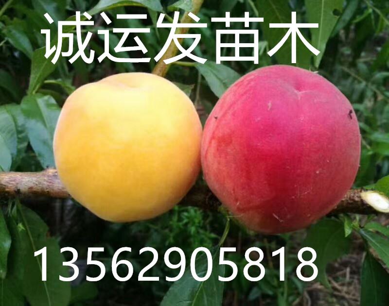 脆桃临沂桃树苗繁育基地