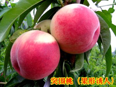 黄桃树苗什么品种好什么品种的桃树苗甜