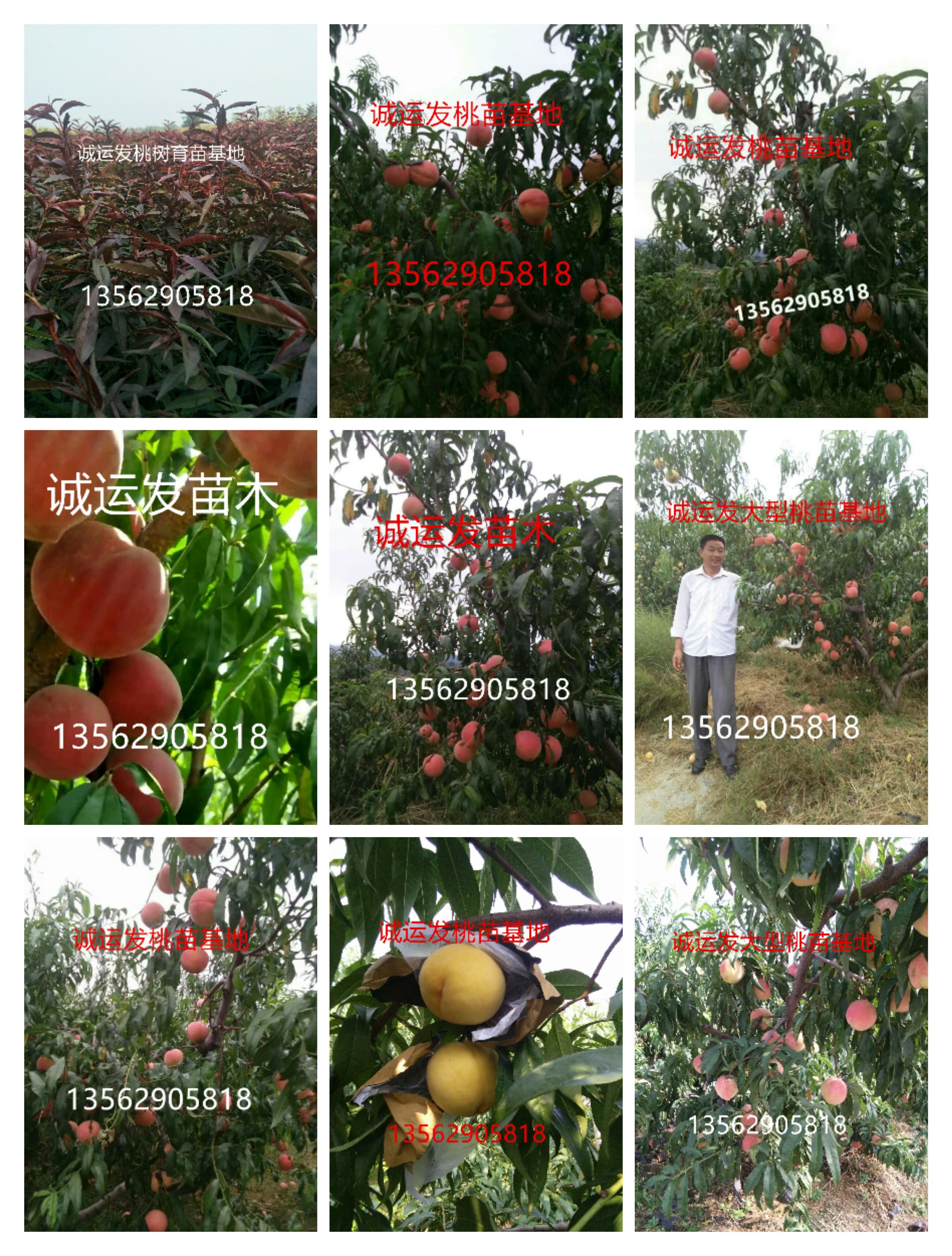 六月上旬早熟黄桃山东晚成熟的冬桃
