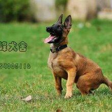 马犬患犬瘟热的症状表现马犬价格
