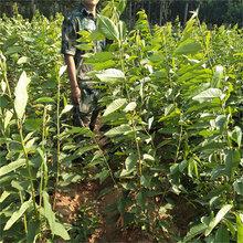 高产樱桃苗,2-3年矮化大樱桃苗出售樱桃苗品种