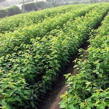 二年矮化樱桃苗价格多少钱,矮化樱桃苗新报价图片