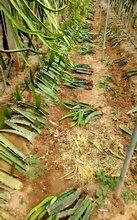 供应红心火龙果苗,火龙果苗怎么种植,山东火龙果苗基地