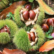 兰考泰山薄壳板栗苗怎样选择,板栗苗种植时间