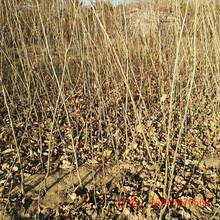 怀来栗子树苗几月份种植好图片