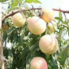 桃树树苗大红桃树苗乌鲁木齐图片