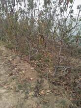 丽江大樱桃树苗几年结果樱桃树图片