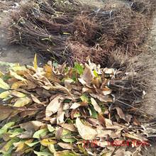 栗子树苗种植多久有收益板栗树苗巴音郭楞图片