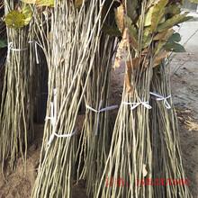 栗子苗种植管理技术80公分板栗苗崇左图片