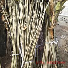 板栗树苗产地供应红油板栗苗九江图片