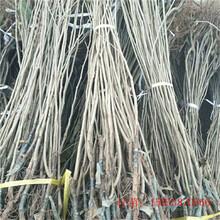 板栗树苗多少钱一棵1公分板栗苗南通图片