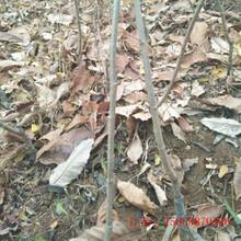 栗子苗几月份种植好泰山板栗苗池州图片