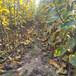 內蒙古晚秋黃梨樹苗在南方適合嗎