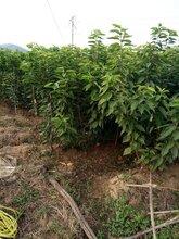 毕节大果樱桃树苗4公分矮化樱桃苗