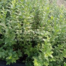 2年蓝莓苗哪里有售淮北蓝莓苗批发