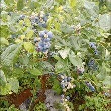 品种蓝莓苗怎么栽遵义蓝莓树苗