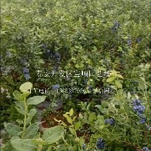 3年蓝莓苗种植抚顺蓝莓种苗批发