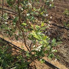 1年蓝莓苗上哪买阜新蓝莓种苗价格