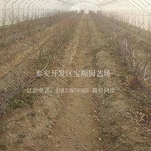 品种蓝莓苗一棵多少钱萍乡蓝莓树苗
