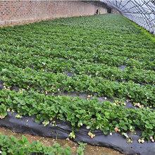 淄博甜查理草莓苗价格草莓的苗长什么样