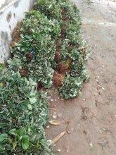 防城港全明星草莓苗大棚种植时间怎么种草莓苗