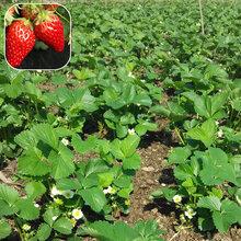 淮南草莓苗亩产量多少斤草莓苗一株多少钱