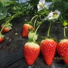 揭阳章姬草莓苗亩产量多少斤草莓苗多少钱一