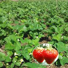 营口新品种草莓苗品种介绍批发草莓苗