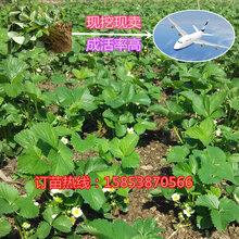 蚌埠妙香草莓苗怎样种植报价草莓苗