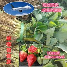 广安甜宝草莓苗价格种植草莓苗