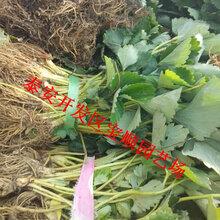 桂林妙香草莓苗栽培技术草莓苗的区别
