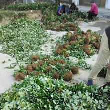 吉安红颜草莓苗栽培技术草莓苗一棵多少钱