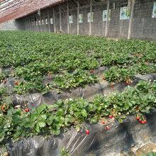 烟台甜查理草莓苗多久结果草莓苗批发基地