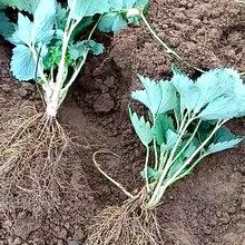 怒江白草莓苗几月份种植好泰安草莓苗