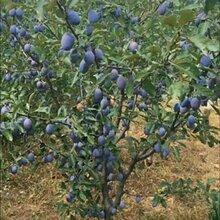 西梅苗品种那有卖西梅蓝蜜李子苗