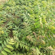 山东哪里有种植香椿苗的2公分香椿苗多少钱