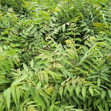 河北5公分香椿苗当年香椿苗价格