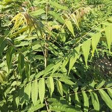 湖南香椿苗基地出售香椿树苗