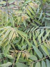 河北5公分香椿苗怎样种植香椿苗