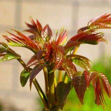 泰安香椿苗大棚香椿苗多久可以采芽子