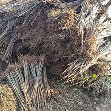 香椿苗什么时候移植好、5公分香椿树苗多钱