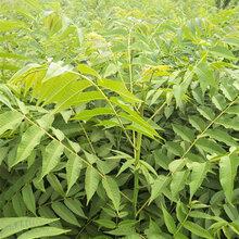 香椿苗要长多久2公分香椿苗多少钱