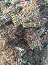 一亩地种多少棵香椿苗怎样种植香椿苗