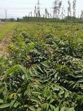 一亩地种多少棵香椿苗、5公分香椿树苗多钱