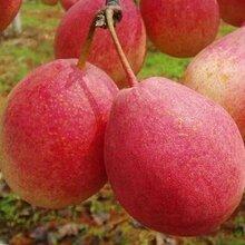 早紅考密斯梨苗新報價早紅考密斯梨苗種植管理早紅考密斯梨苗多少錢一株